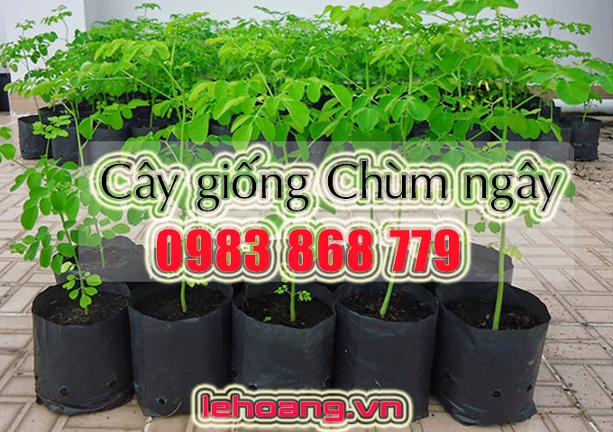 cay giong chum ngay